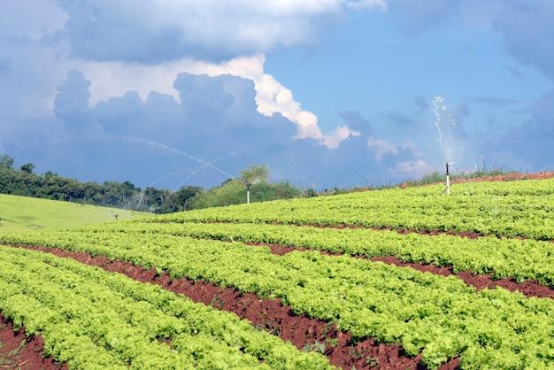 Irrigação na plantação de alface