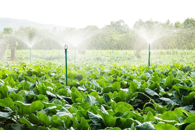 Irrigação por aspersão no campo de couve-flor