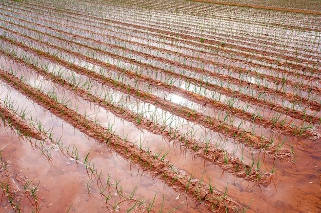 Irrigação por inundação de uma plantação de vegetais que desperdiça água.