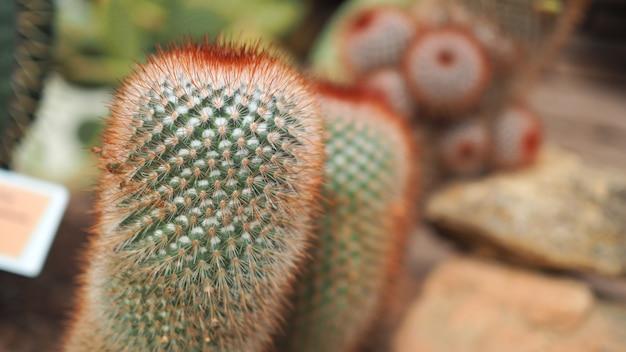 Irritado de cabeça vermelha. mammillaria spinosissima. cactaceae méxico.
