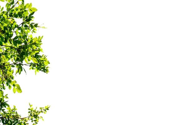 Isolado da parte superior do ramo de árvore e da folha verde no fundo branco.