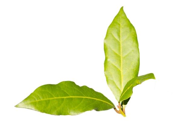 Isolado de folha de louro verde em um fundo branco, ingredientes de especiarias no fundo, as folhas jovens da árvore do louro, início da primavera
