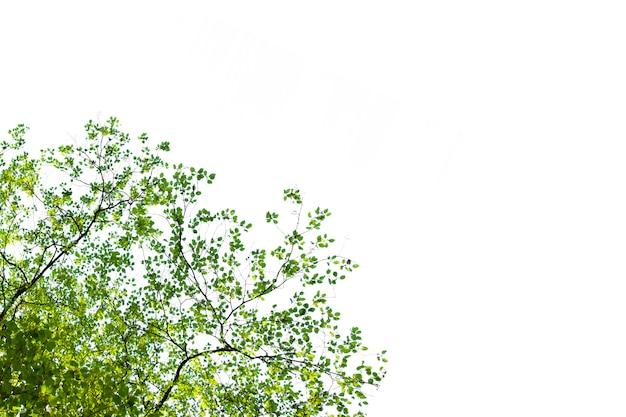 Isolado de galho de árvore para decoração de ecologia