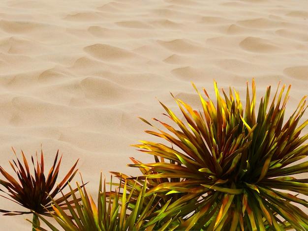 Isolado dracaena loureiri gagnep no fundo do deserto