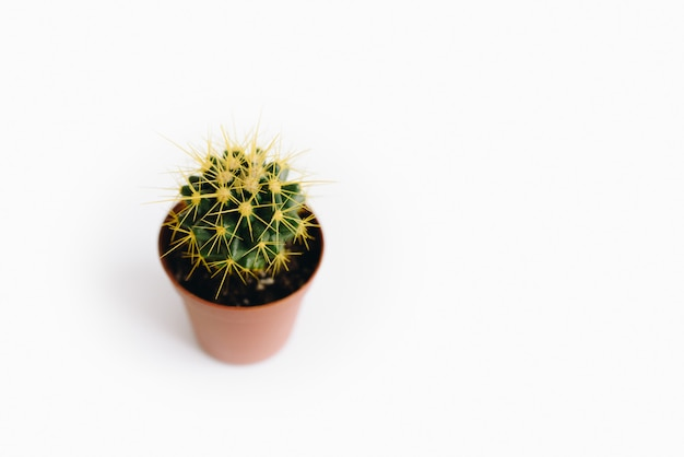 Isolado no fundo branco está o echinocactus grusonii, um tipo de planta suculenta