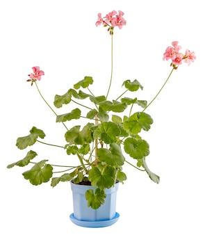Isolado no fundo branco, uma flor em uma tigela