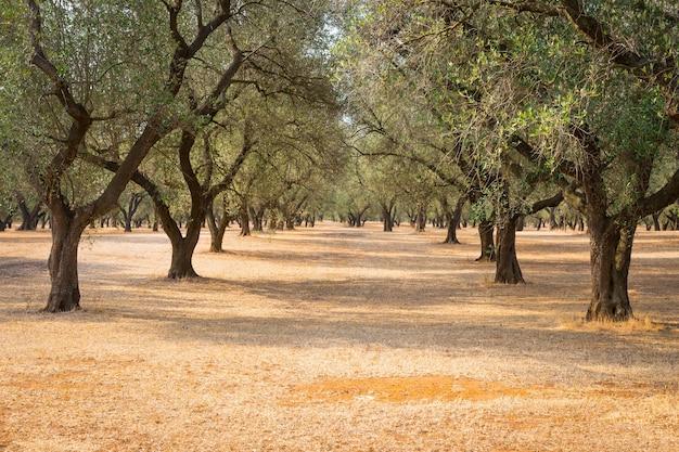 Itália, região de puglia, ao sul do país. plantação tradicional de oliveiras.