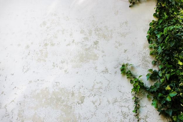 Ivy deixa a ilha em uma parede de tijolos branco