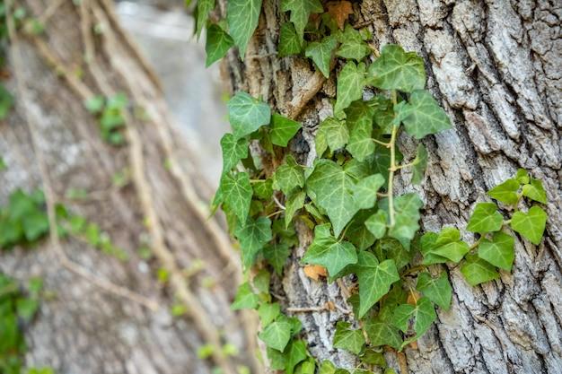 Ivy em casca de árvore nas ruínas de termessos perto de antalya, na turquia