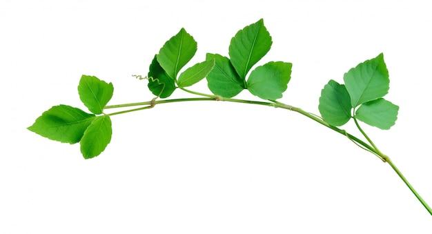 Ivy isolado no branco