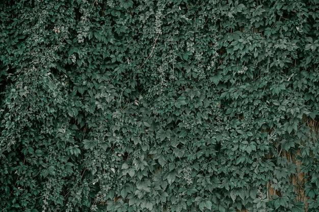 Ivy na parede da casa. hera de folhas de outono nas janelas vintage.