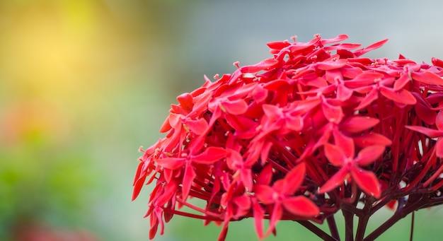 Ixora coccinea flor no jardim