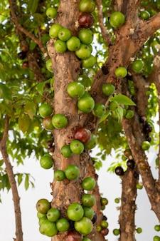 Jaboticabas verdes na árvore. plano vertical