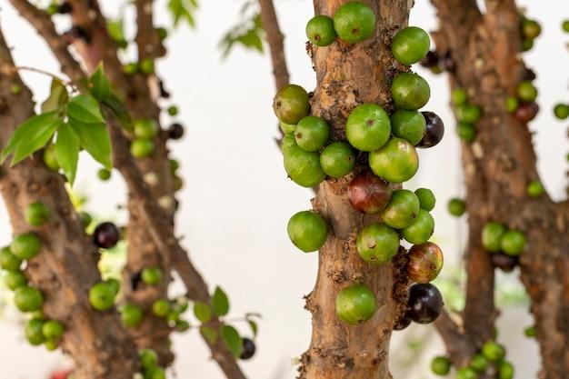 Jaboticabas verdes na árvore