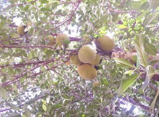 Jaca, árvore