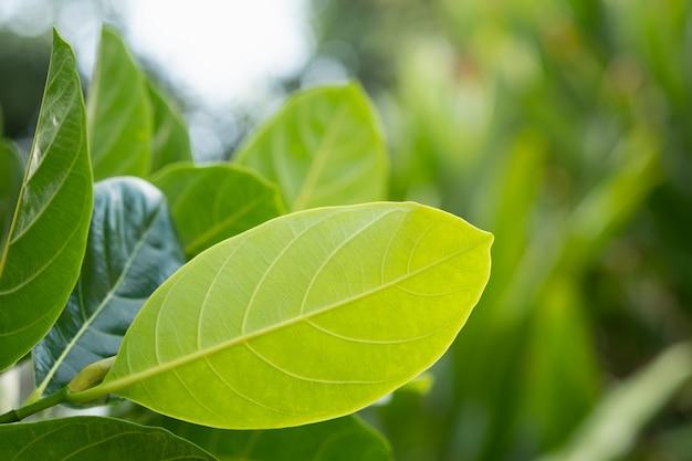 Jaca de folhas em brance, folha verde
