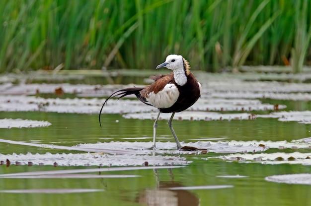 Jacana-de-cauda-faisão belas aves da tailândia