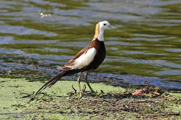 Jacana-de-cauda-faisão hydrophasianus chirurgus belas aves da tailândia