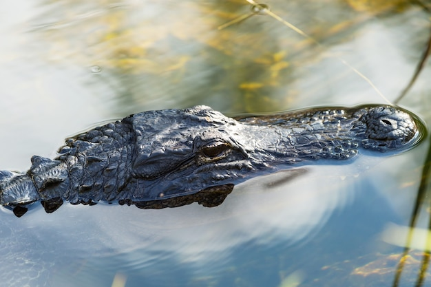 Jacaré americano nadando em everglades com reflexo colorido no parque nacional de natureza selvagem de água