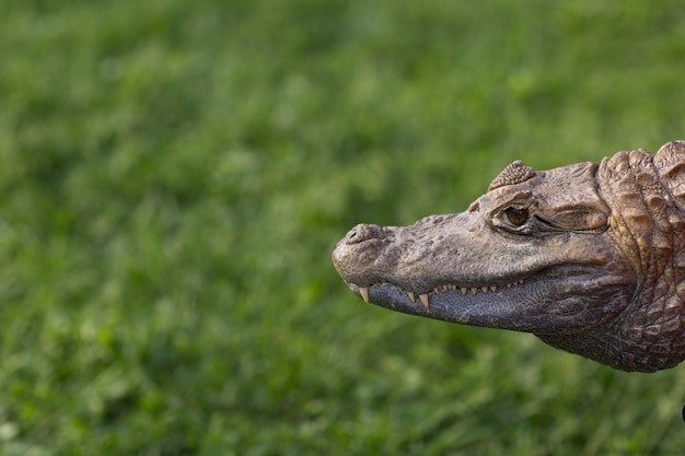 Jacaré de crocodilo