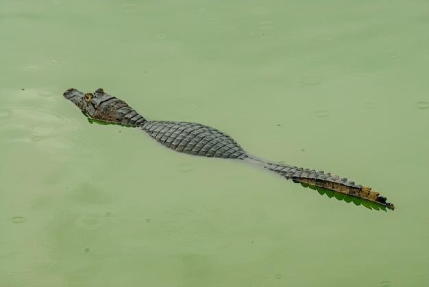 Jacaré descansando em uma área úmida no pantanal de mato grosso pocone mato grosso brasil