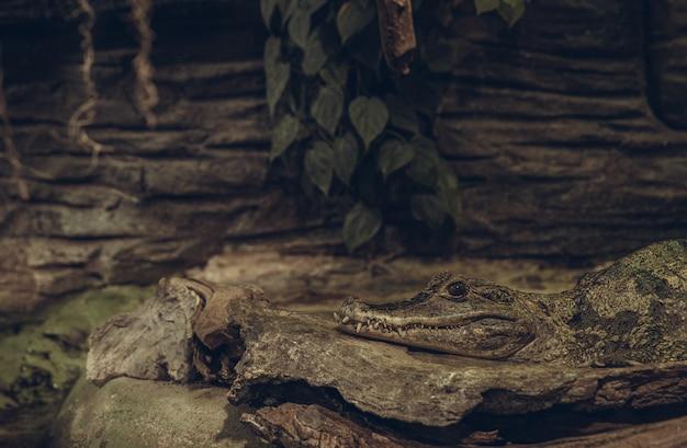 Jacaré mascarado em um ambiente descansando na pedra