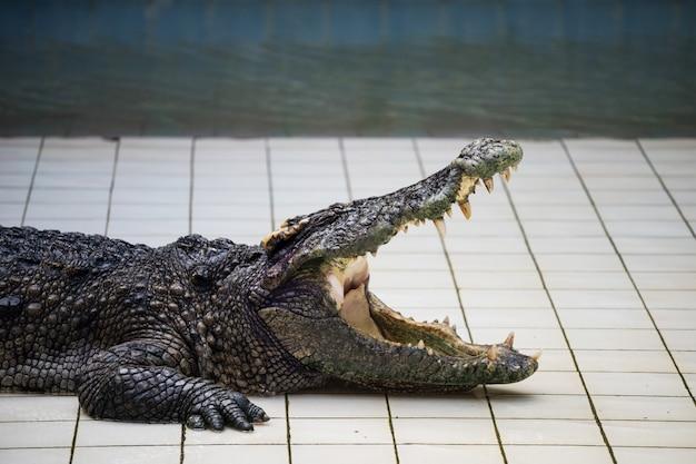 Jacaré ou crocodilo abre a boca no zoológico