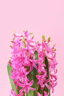 Jacinto com flores cor de rosa e folhas em fundo rosa. primeira planta com flor perfumada da primavera.