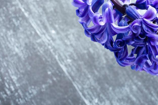 Jacinto comum ou flores de jacinto holandês em um fundo escuro de madeira. o conceito de olá primavera. conceito mínimo. cartão postal, fundo floral, espaço de cópia