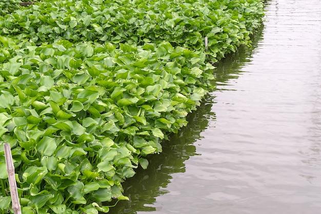 Jacinto de água comum, eichhornia crassipes