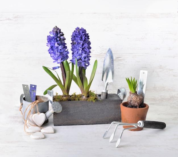Jacinto que floresce em vaso de madeira decorativo ao lado de pá e regador