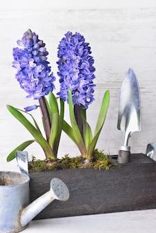 Jacinto que floresce em vasos de madeira decorativos ao lado da pá e pouco regador na parede de madeira branca