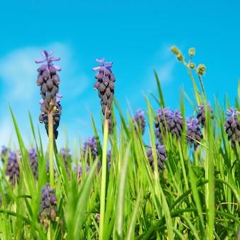 Jacintos de uva com flores azuis (muscari neglectum) na grama verde da primavera com o céu no fundo