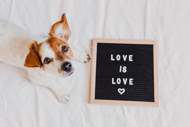 Jack bonito russell do cão que encontra-se na cama em casa. quadro de carta além com mensagem amor é amor. mês de orgulho comemorar e o conceito de paz mundial