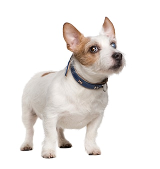 Jack cego russell