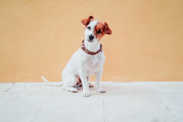 Jack cute russel cachorro sentado sobre parede amarela