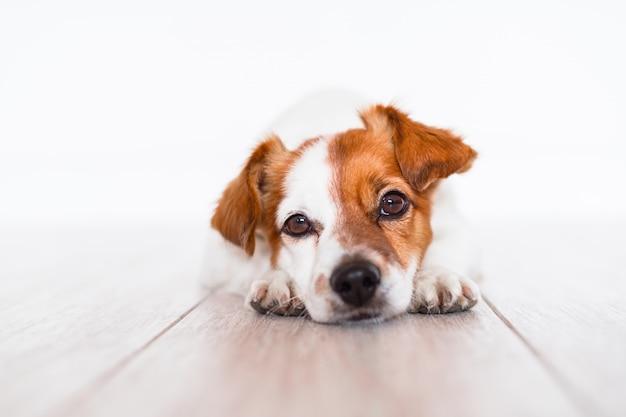 Jack cute russell cachorro deitado no chão em casa