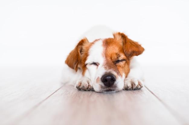 Jack cute russell cachorro dormindo no chão em casa