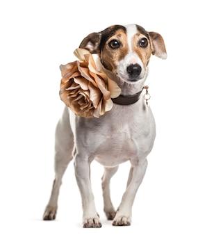 Jack russel cachorro em pé