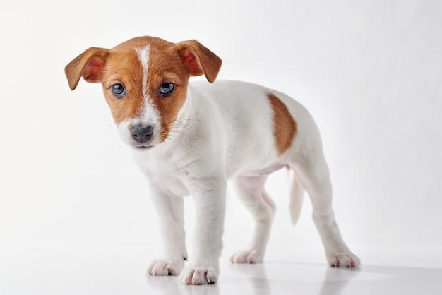 Jack russel terrier cachorrinho em fundo branco