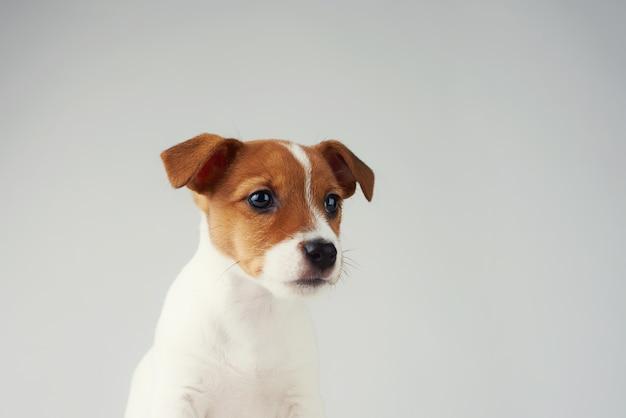 Jack russel terrier cachorrinho em fundo cinza