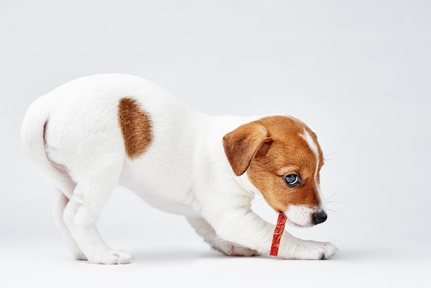 Jack russel terrier cachorro comer comida deliciosa em branco