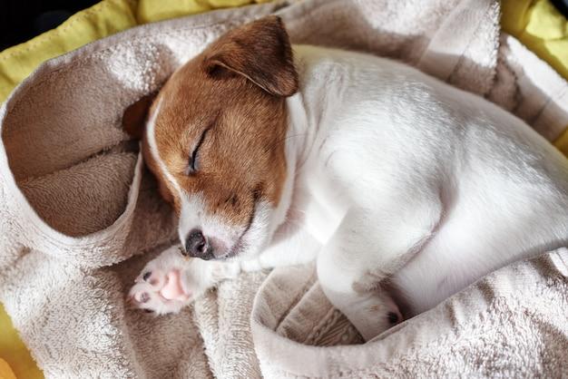 Jack russel terrier cachorro dormir na cama