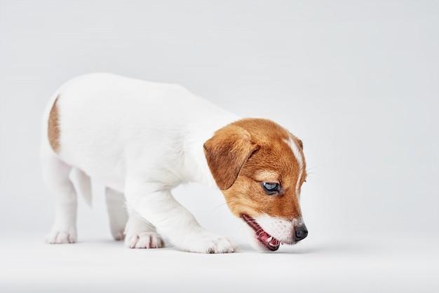 Jack russel terrier cachorro em um fundo branco