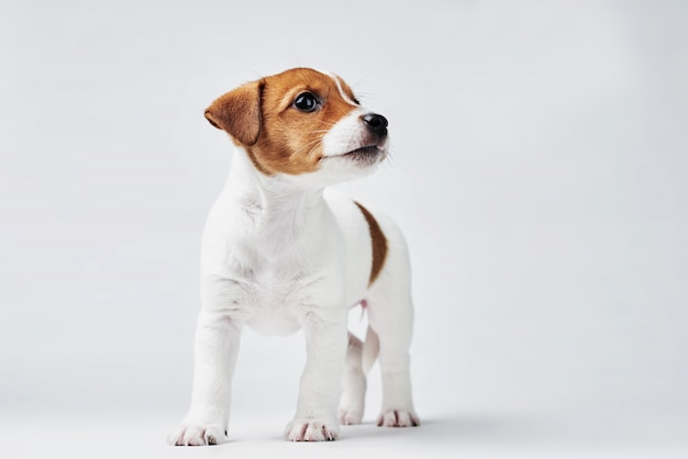 Jack russel terrier cachorro em uma parede branca