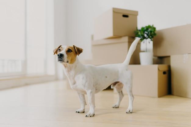 Jack russel terrier cachorro fica na sala vazia contra pilhas de caixas de papelão