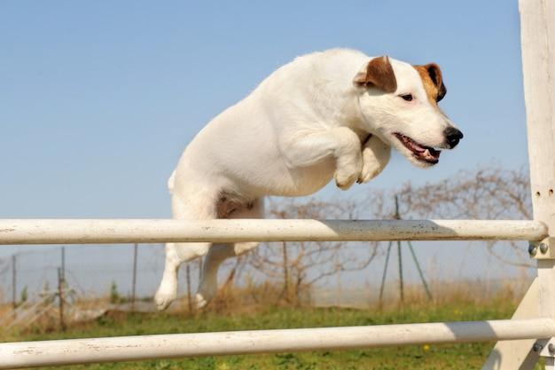 Jack russel terrier em agilidade