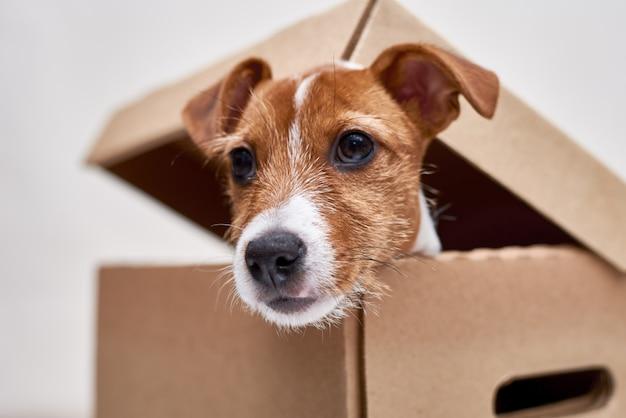 Jack russel terrier em uma caixa de papelão