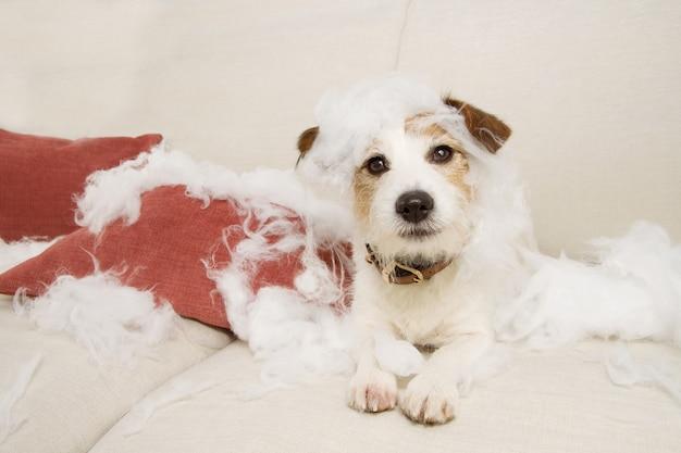 Jack russell cachorro em um sofá com expressão inocente após morder e destruir um travesseiro homeware.