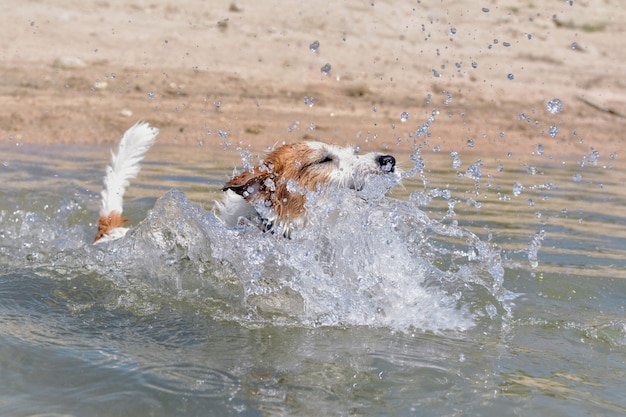 Jack russell cachorro na praia